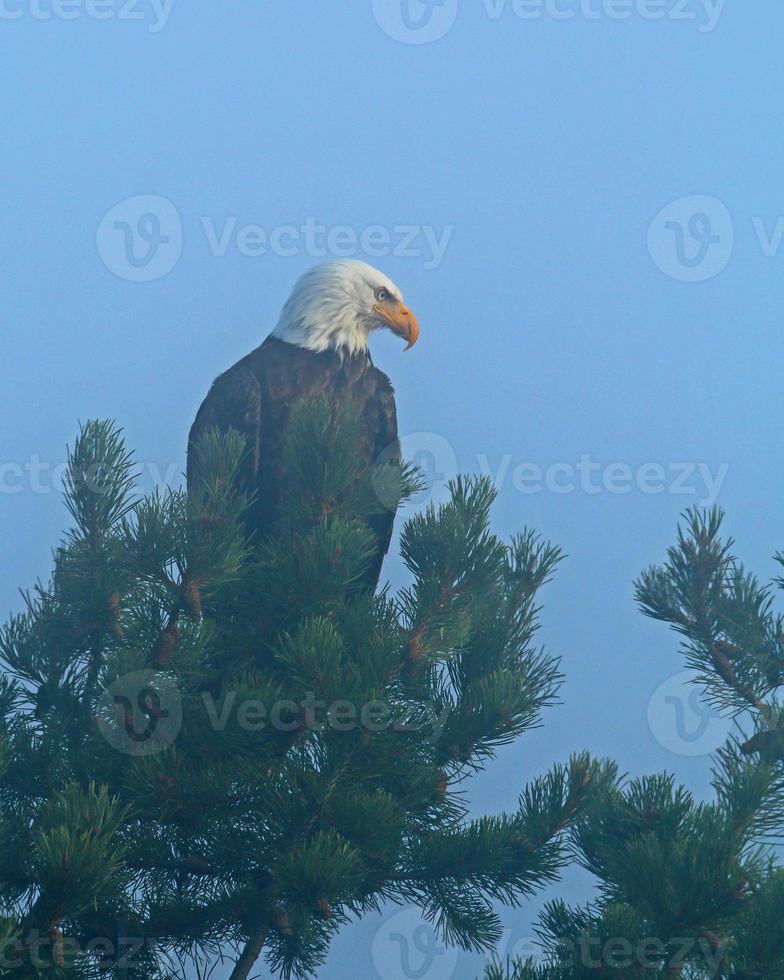 águia careca em formato vertical foto