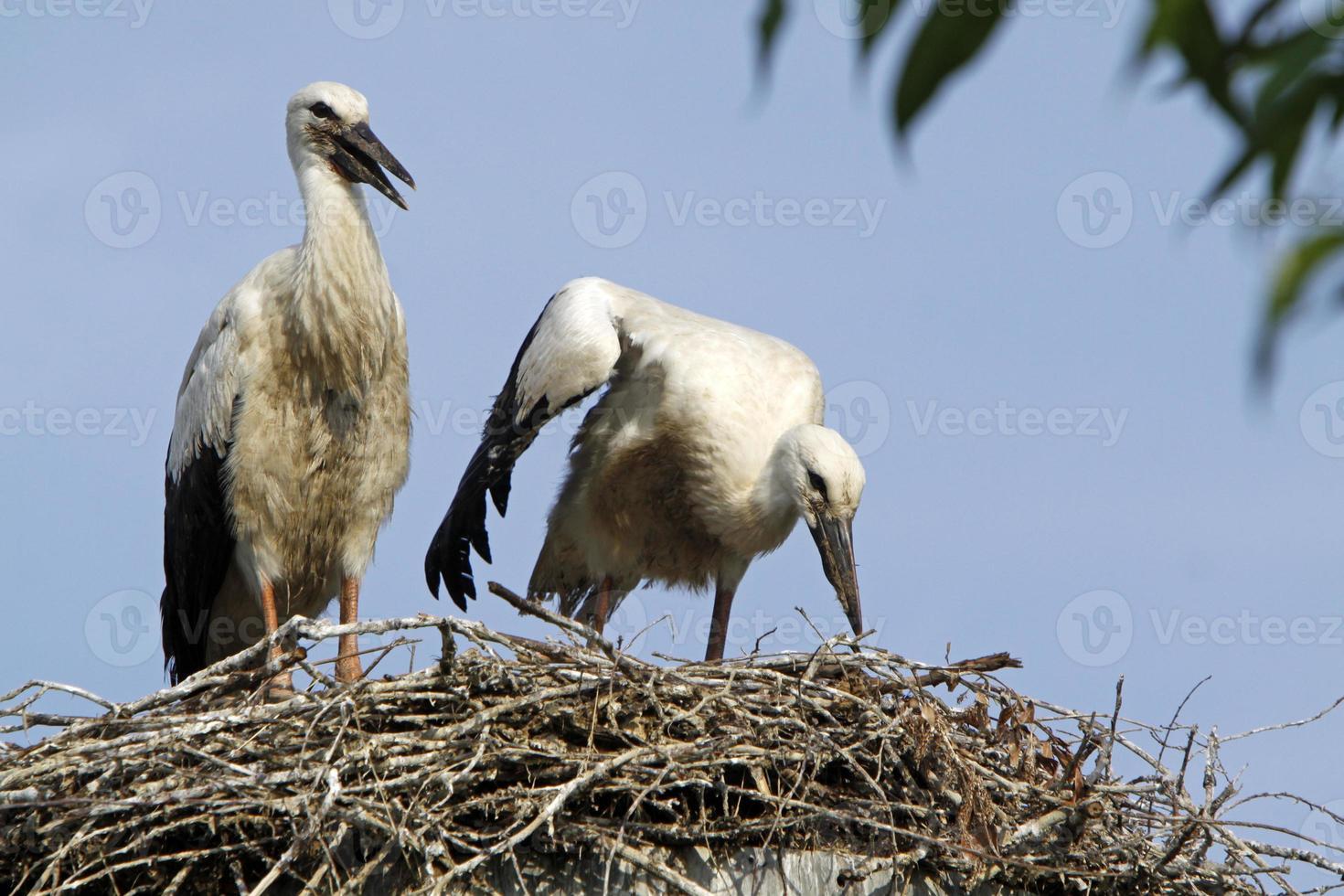 cegonhas brancas em seu ninho foto