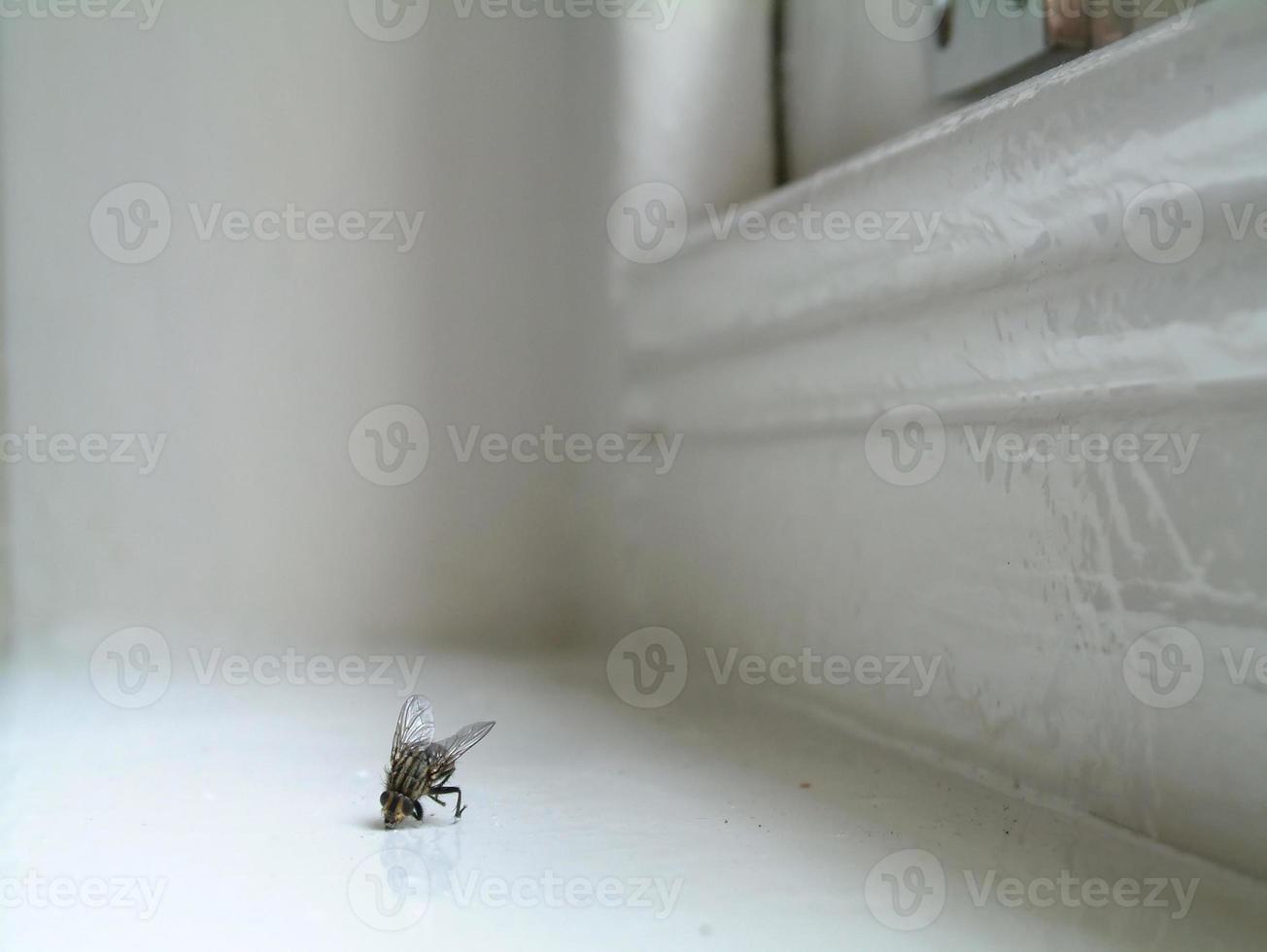mosca doméstica morta foto