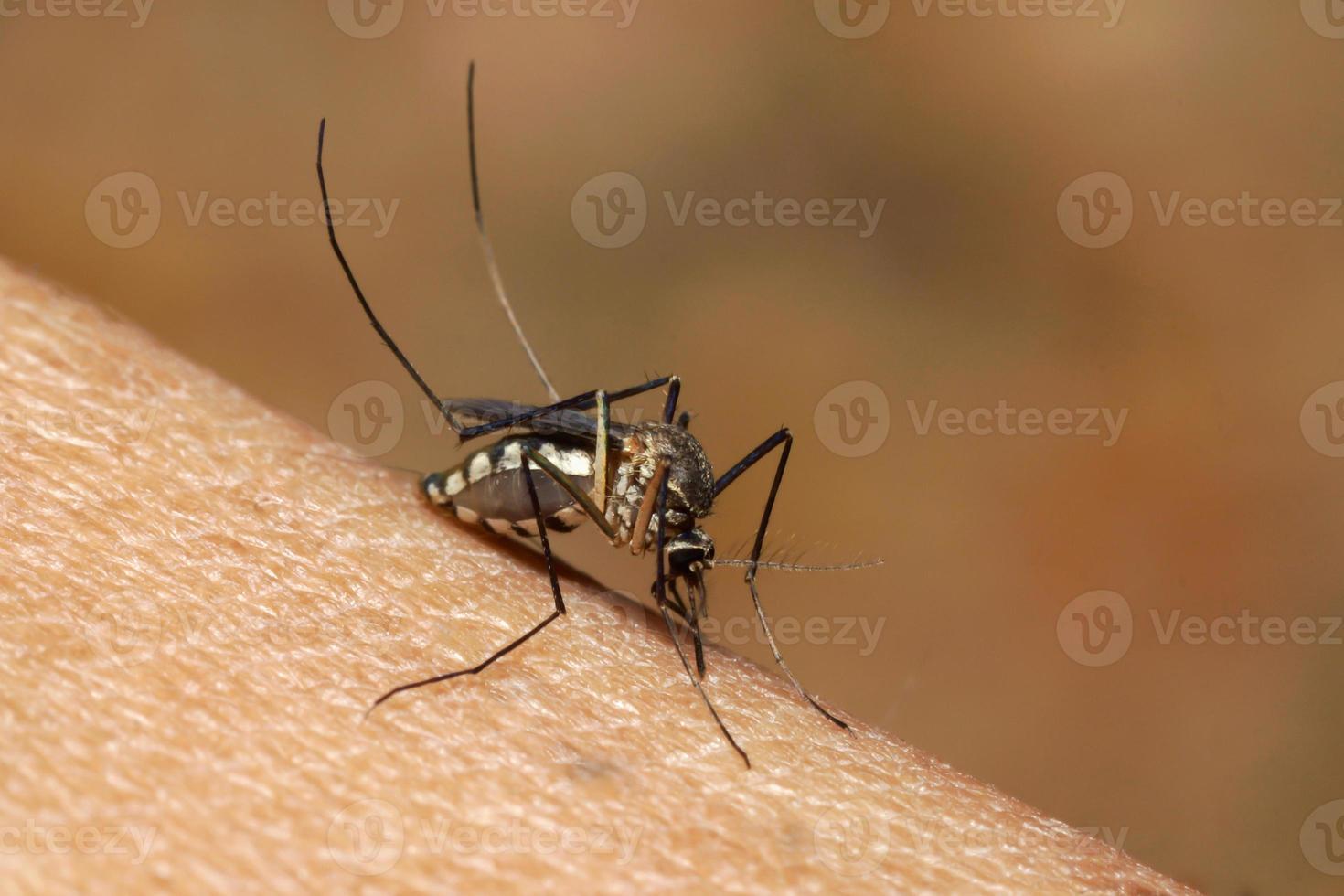 mosquito sugando sangue humano na macro extrema foto
