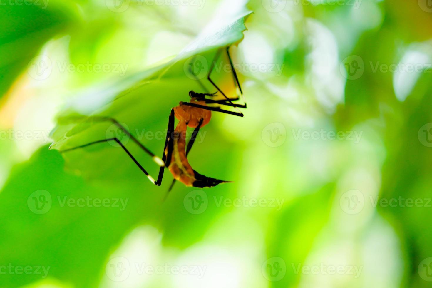 mosquito da malária sob folha verde foto