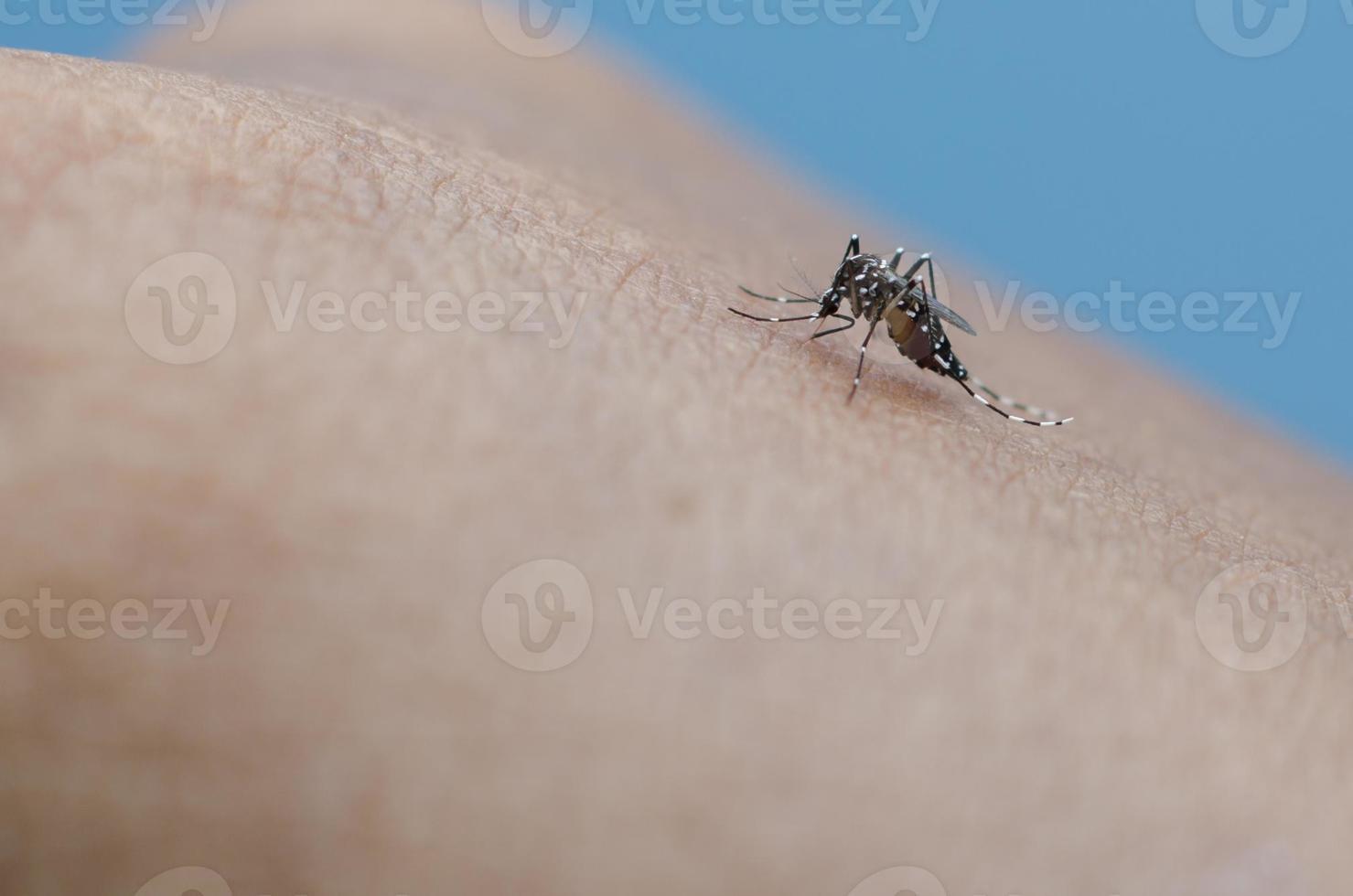 mosquito tigre foto