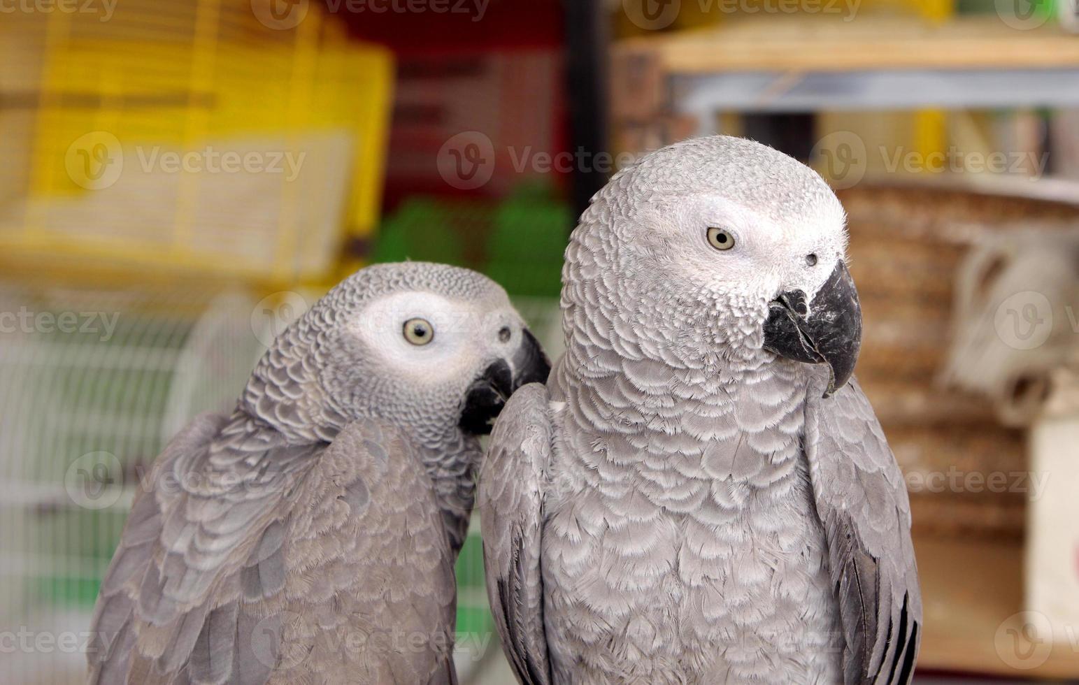 closeup de papagaios cinzentos africanos foto