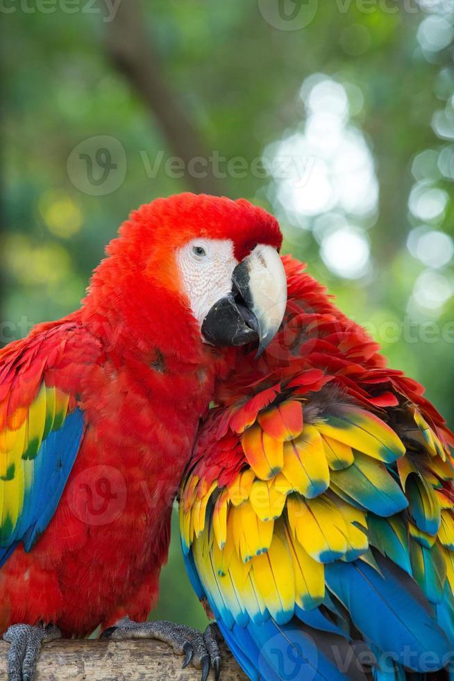araras papagaios foto