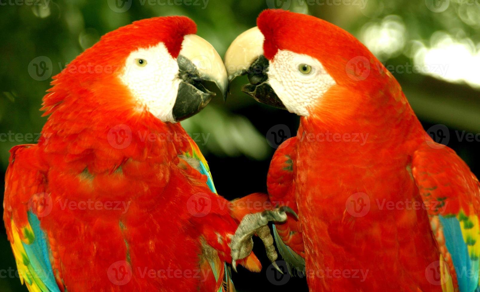 beijando papagaios foto