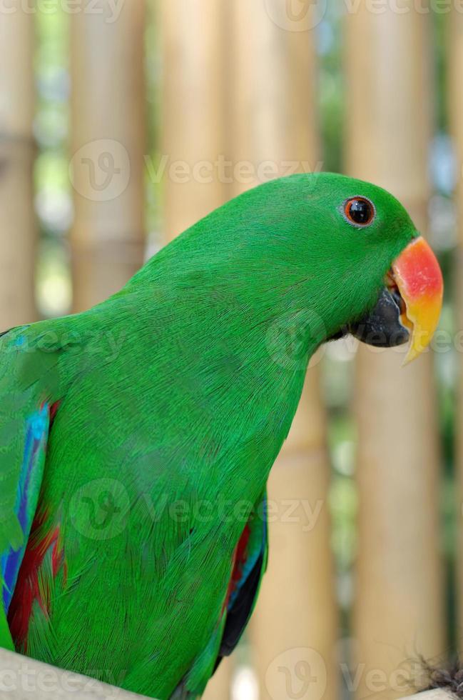 papagaio eclectus masculino foto