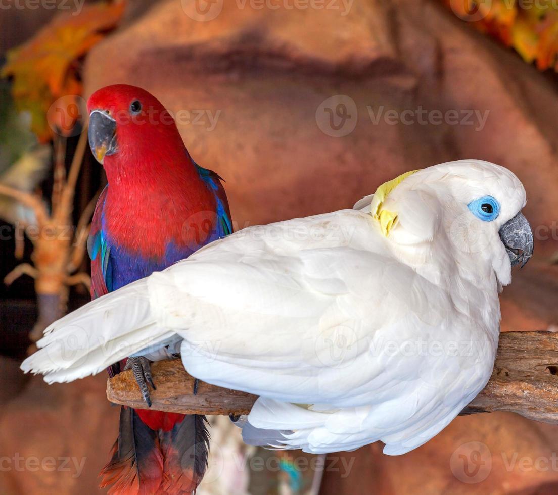 cacatua pássaro foto