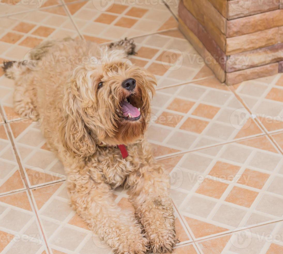 o cachorro em minha casa com a boca aberta. foto