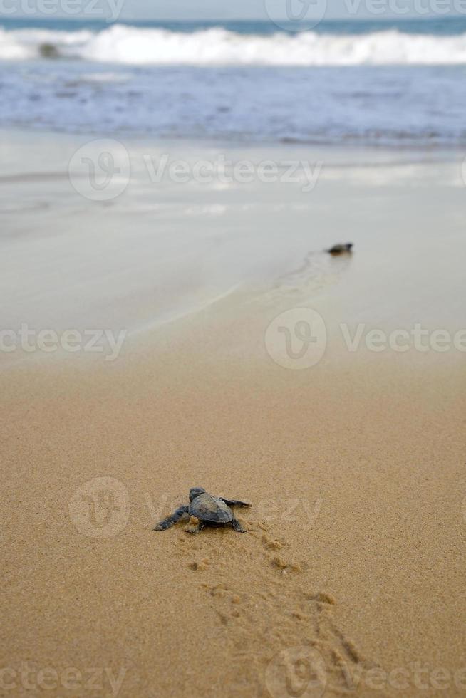 tartarugas bebê fazendo o seu caminho para o oceano foto