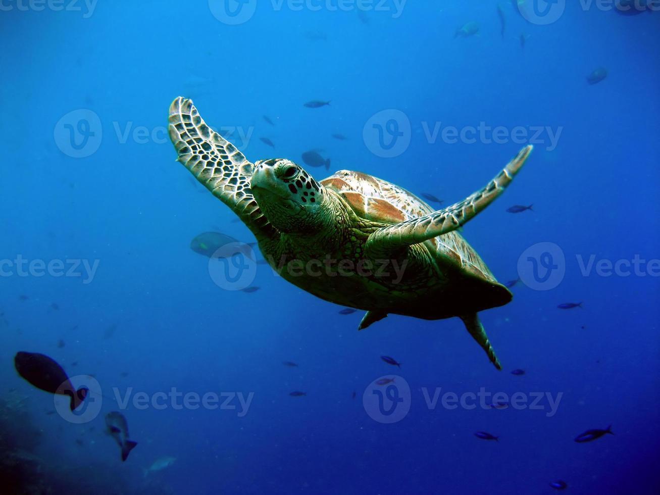tartaruga verde foto