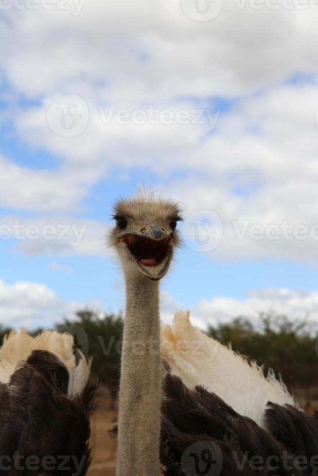 avestruz masai foto