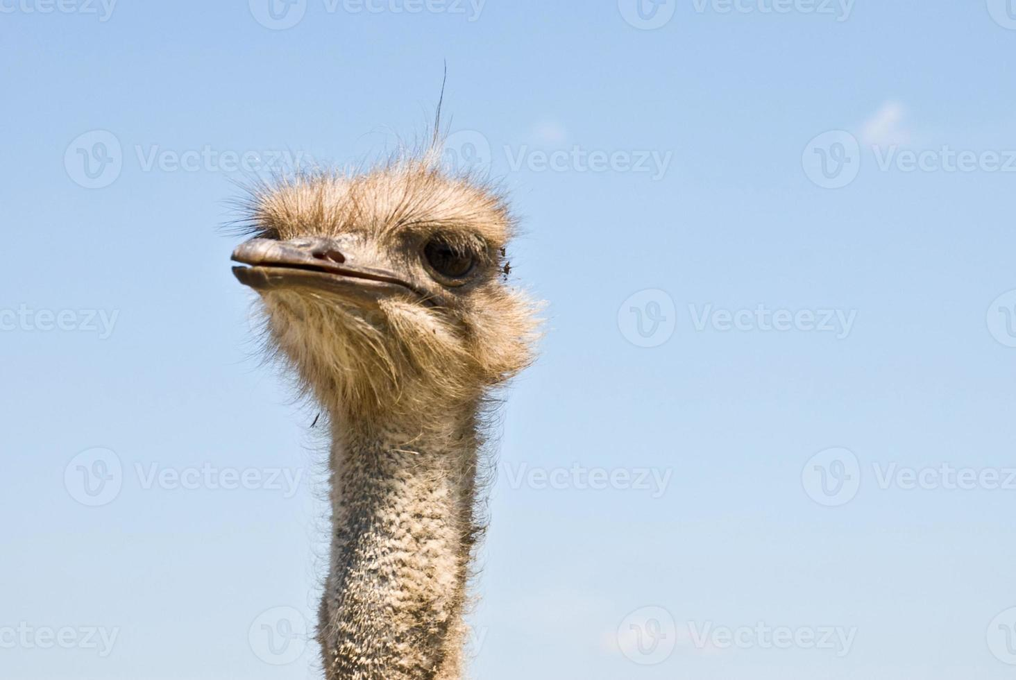 rosto de avestruz foto