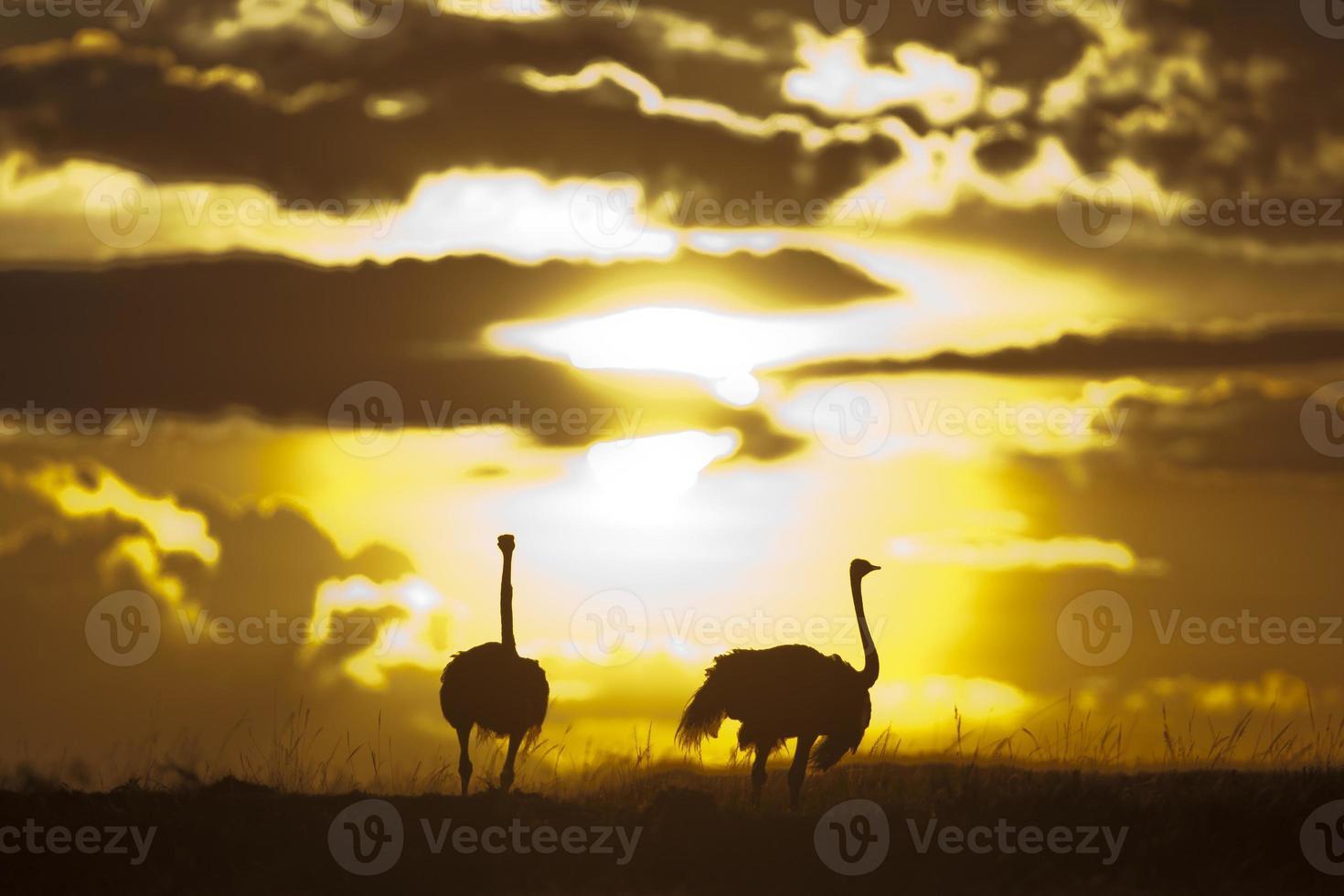 avestruzes em silhueta ao sol, masai mara, quênia foto