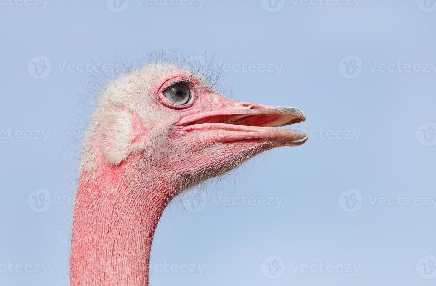 vista lateral do avestruz rosto vermelho foto