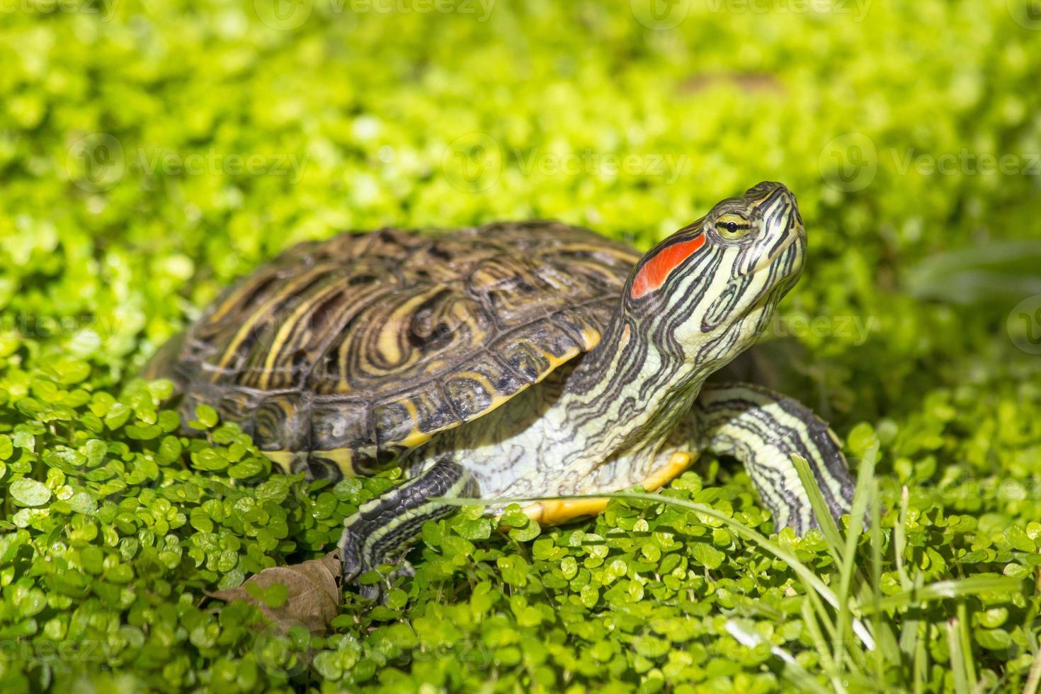 slider orelhudo vermelho - tartaruga de trachemys scripta elegans foto