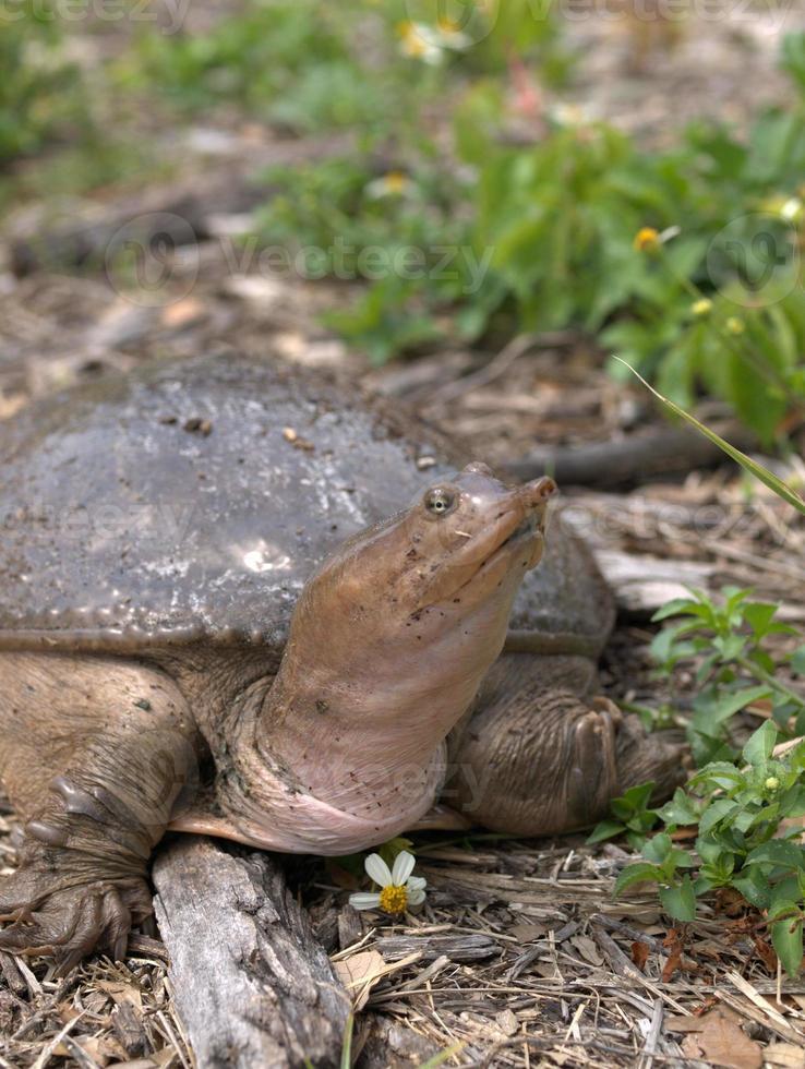 tartaruga e flor de casca mole foto