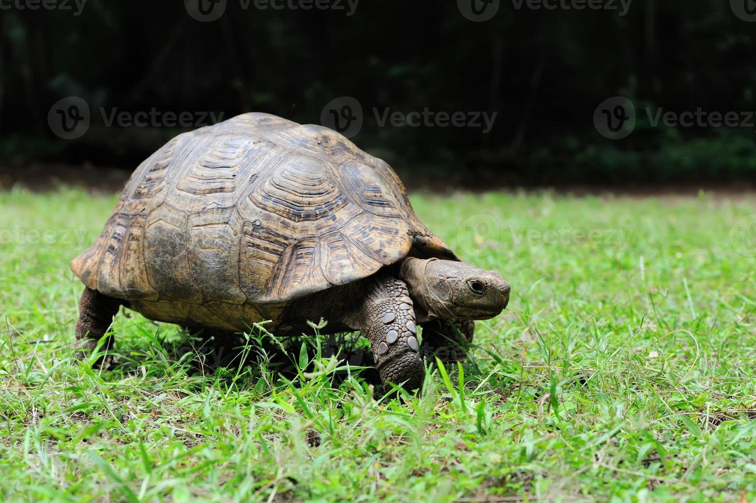 tartaruga de esporas africana na grama foto