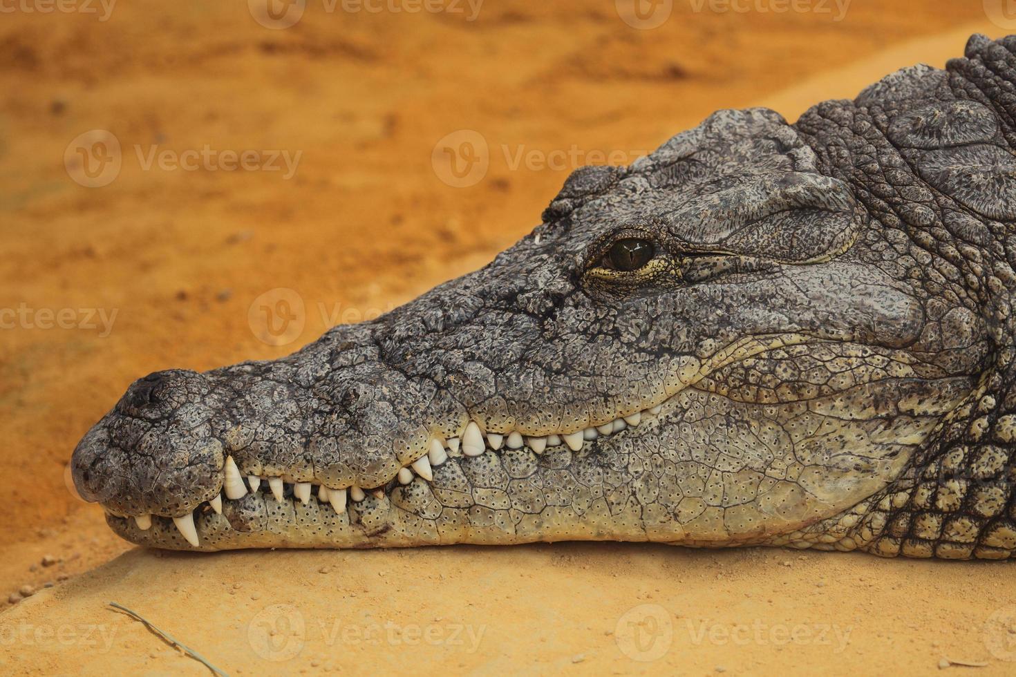 fotografia da cabeça de um crocodilo do Nilo foto