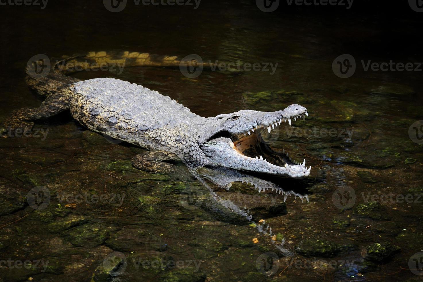 grande crocodilo na água foto
