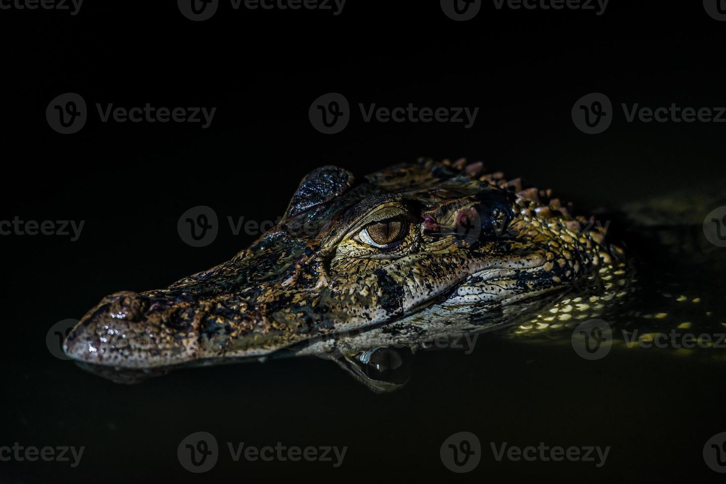 caimão preto a selva amazônica peruana madre de dios peru foto