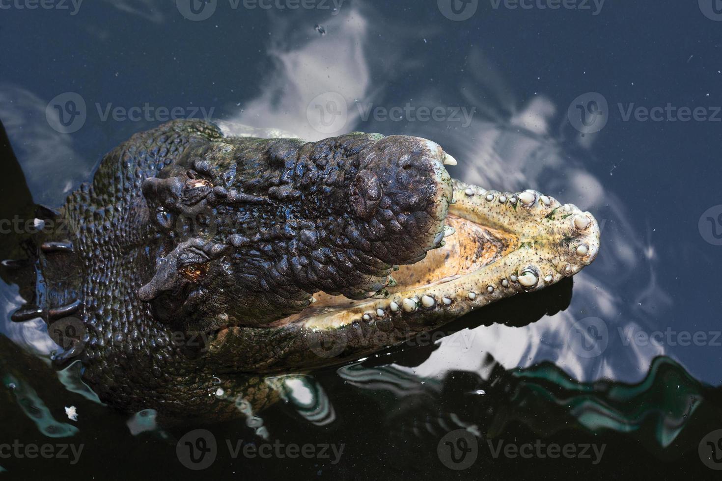 crocodilos austrália foto