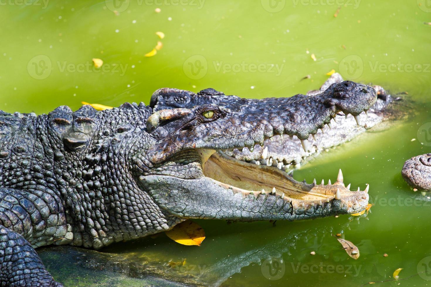 boca aberta de crocodilo de vida selvagem, isolada no fundo branco foto