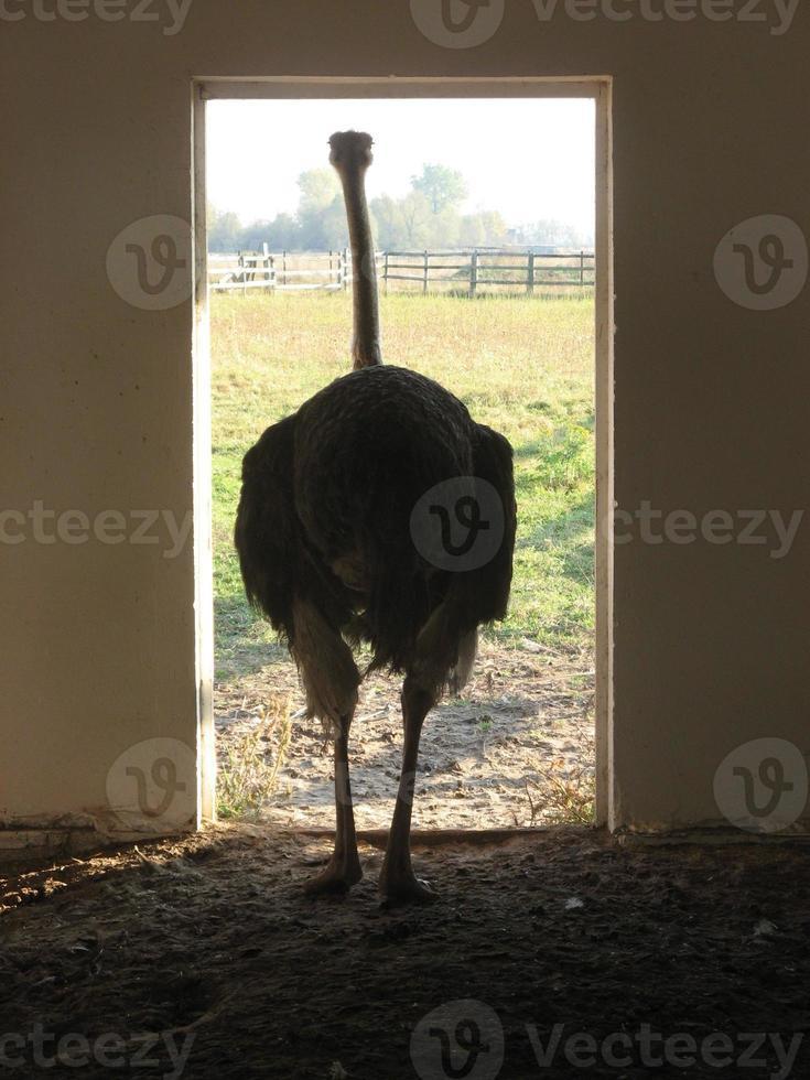 avestruz ambulante foto