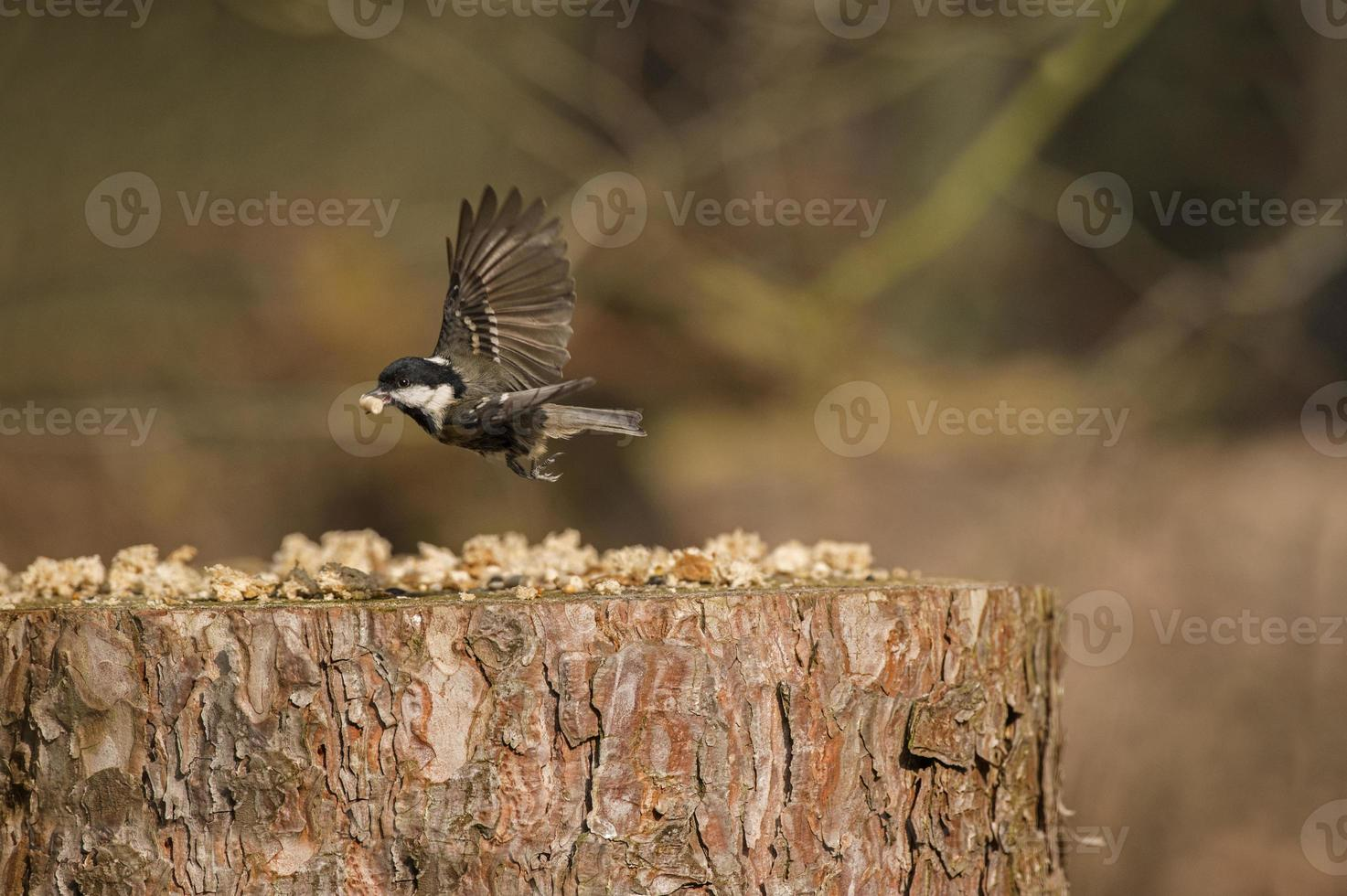 teta de carvão, periparus ater, voando de um tronco de árvore foto