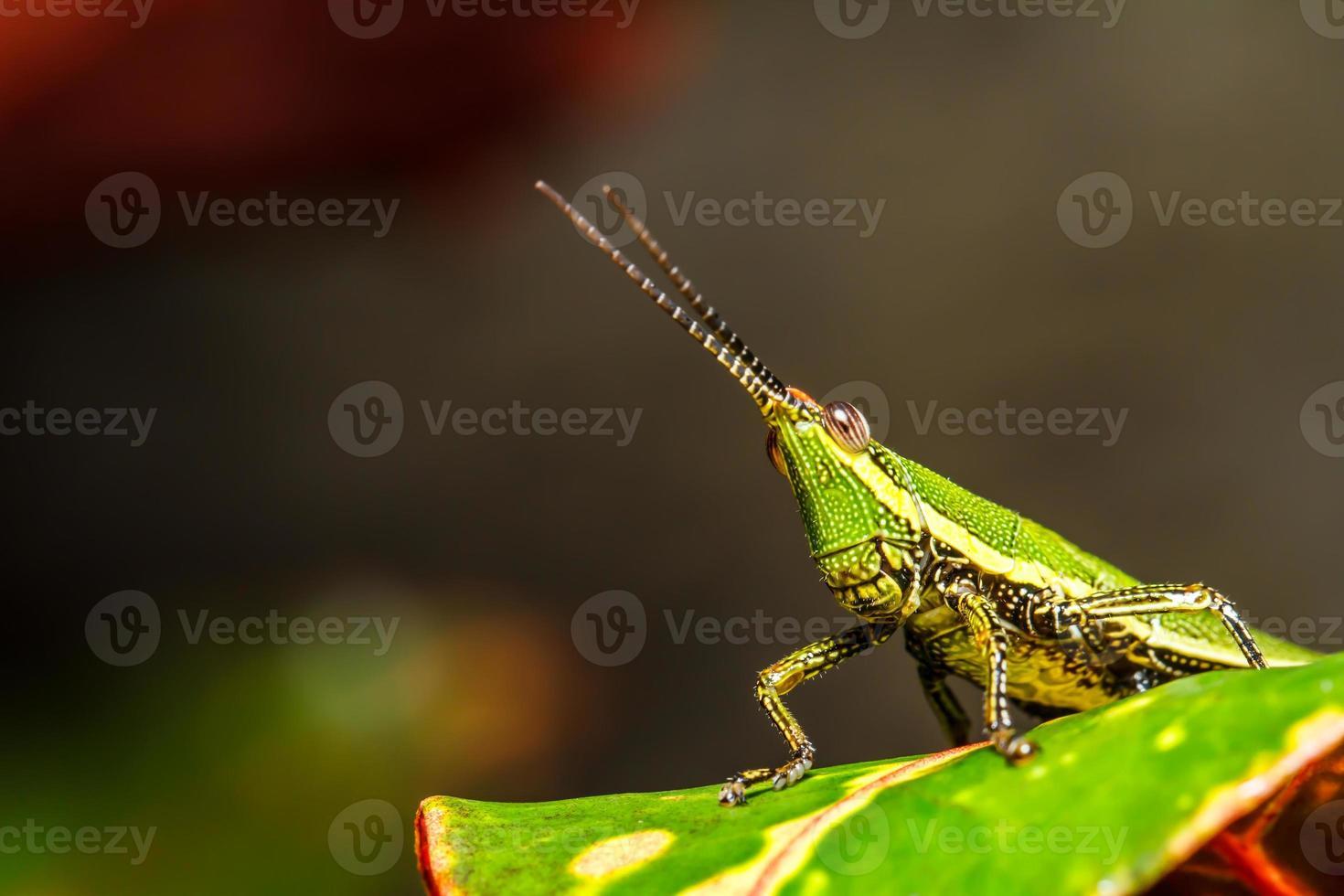 gafanhoto verde na folha da grama foto