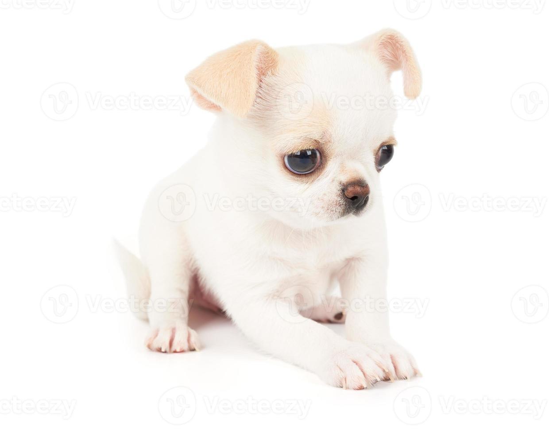 filhote de cachorro branco em branco foto