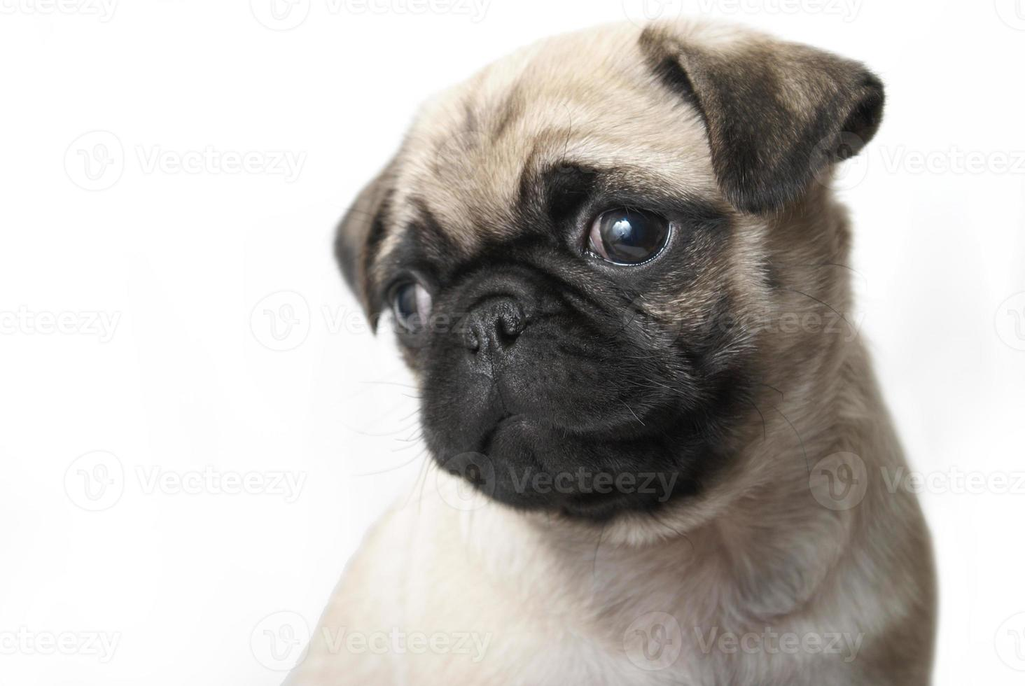filhote de cachorro adorável pug foto