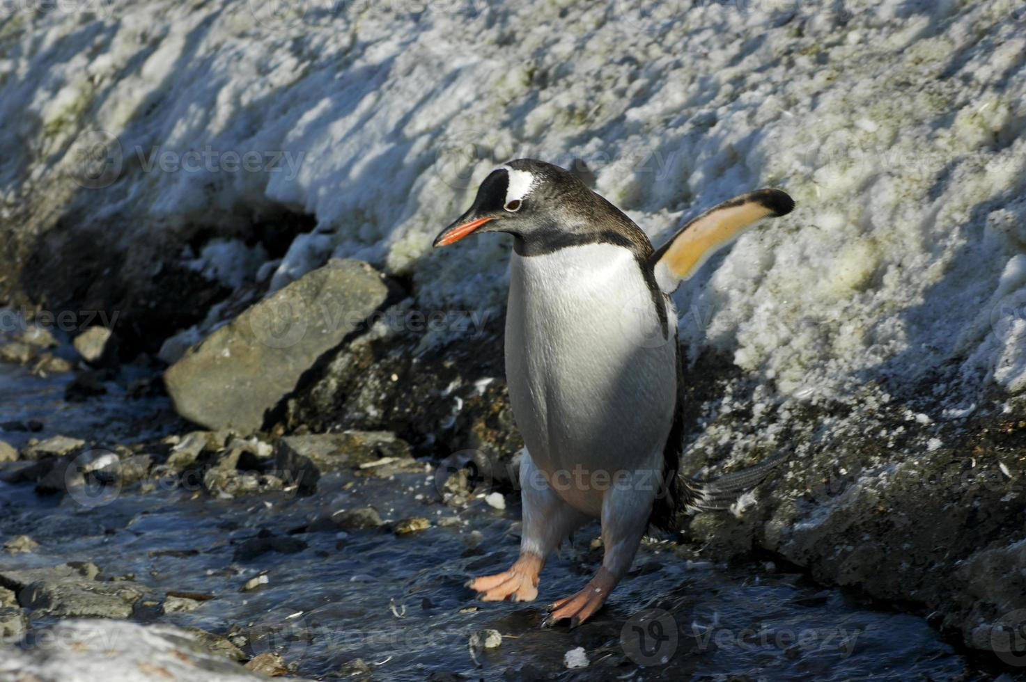 pinguim-gentoo pulando gelo na Antártica foto