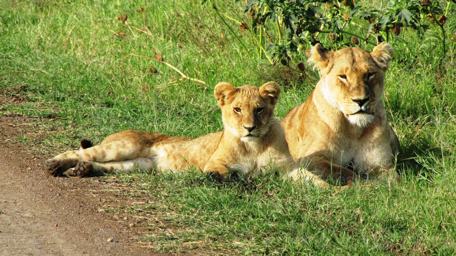 filhotes de leão em masai mara foto