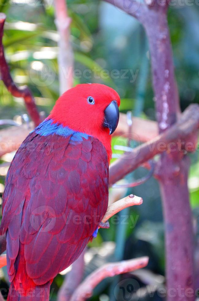 papagaio eclectus colorido foto