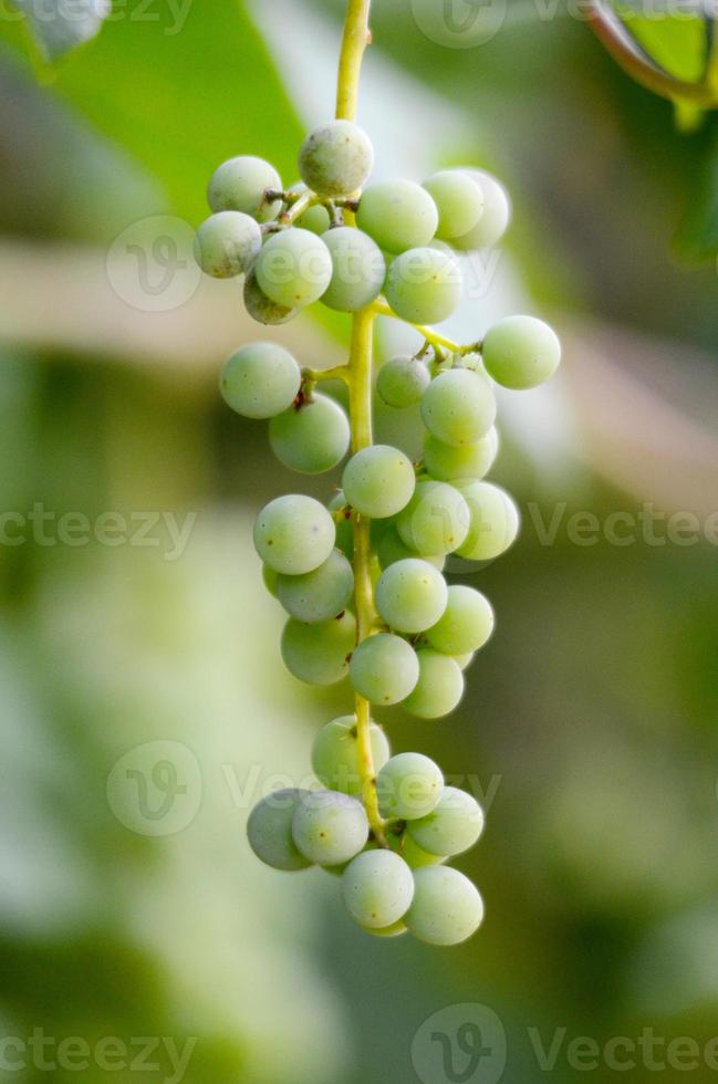 uvas verdes verdes foto