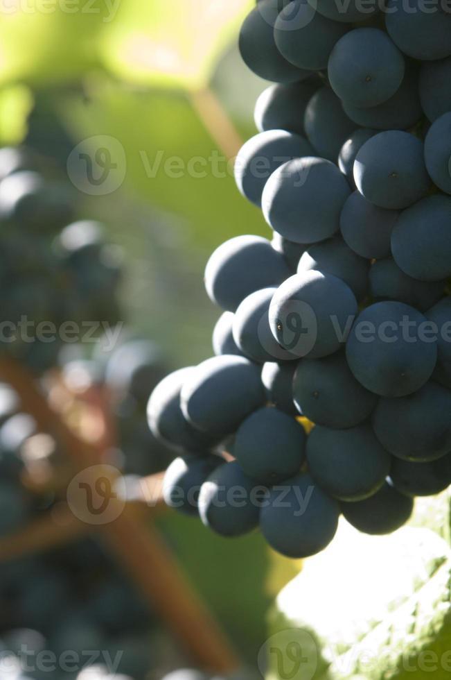 uvas vermelhas em vinhedo foto