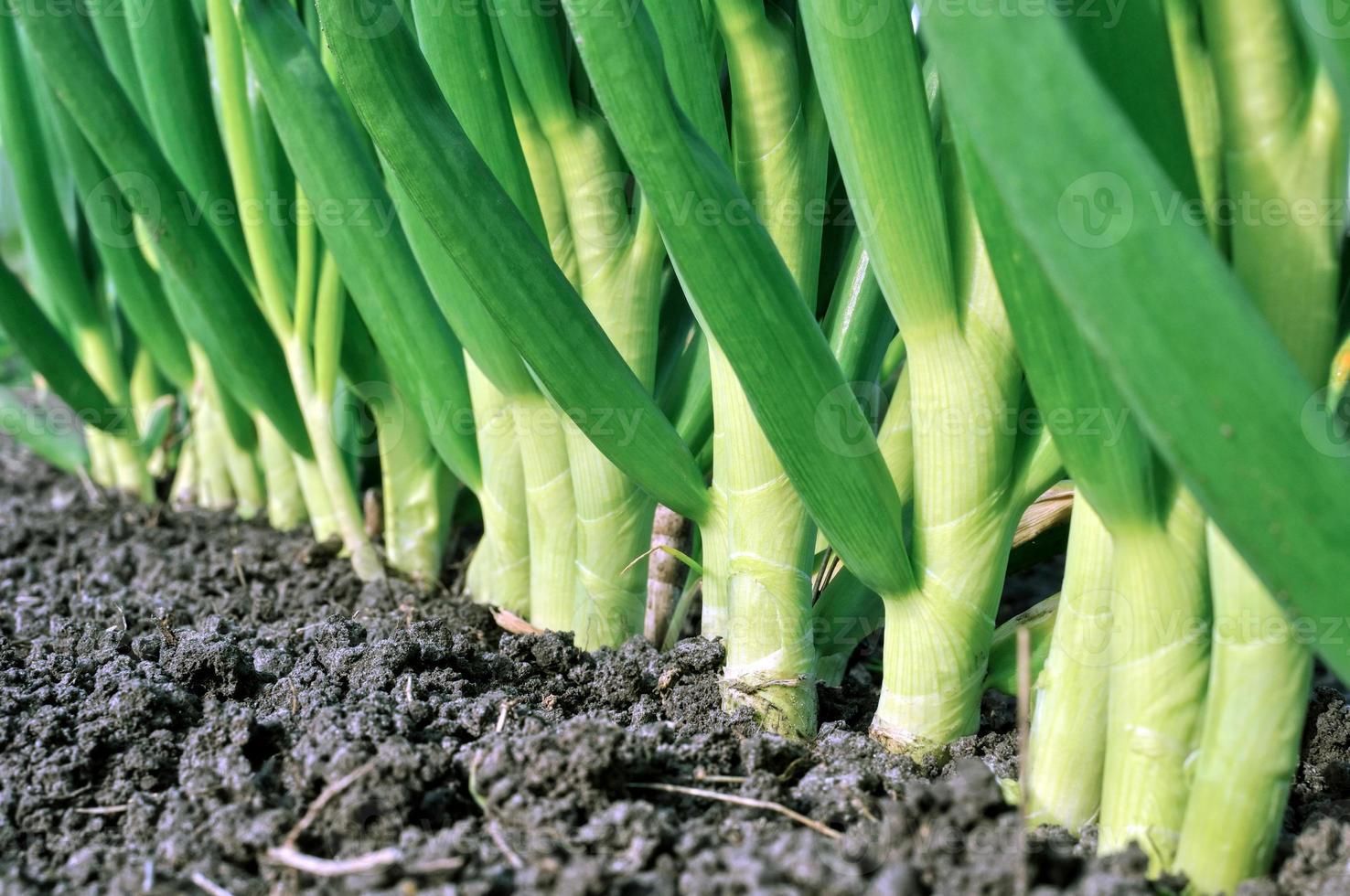 plantação de cebola foto