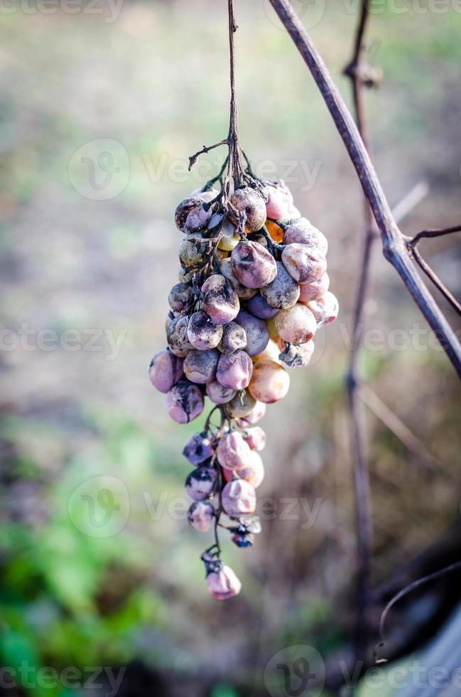 uvas secas no galho foto