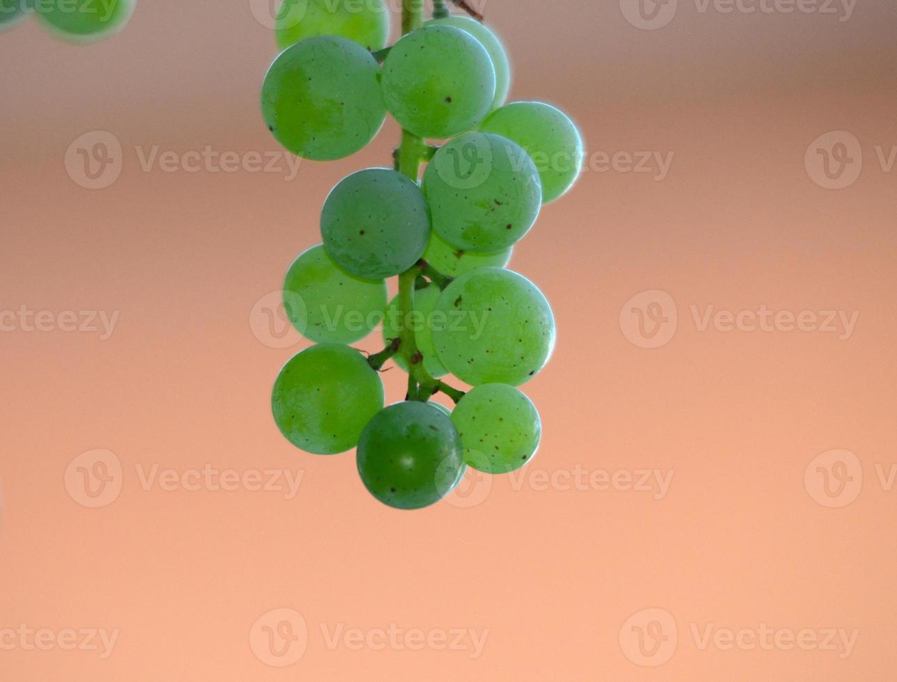 uvas na videira pouco antes da colheita foto
