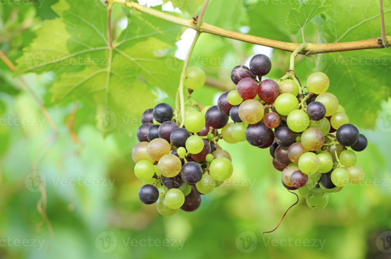 uva vermelha e uva verde foto
