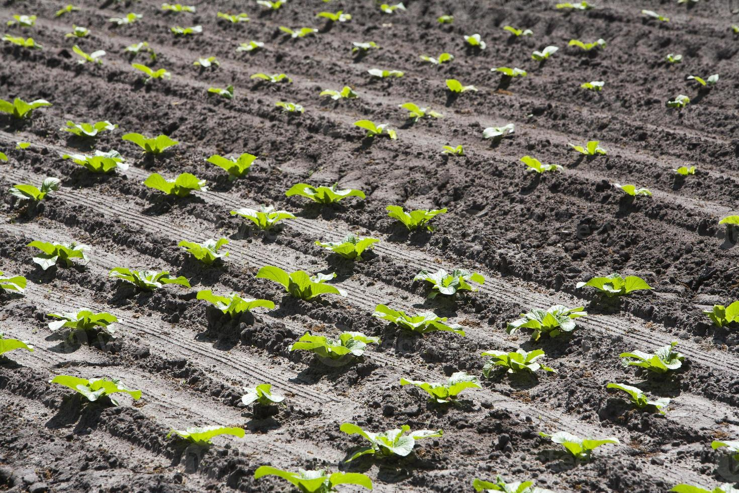 campo de alface plantada foto