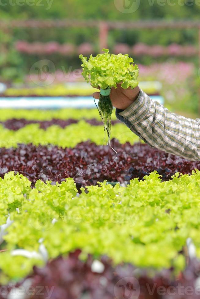 fazenda de vegetais hidropônicos orgânicos 9 foto