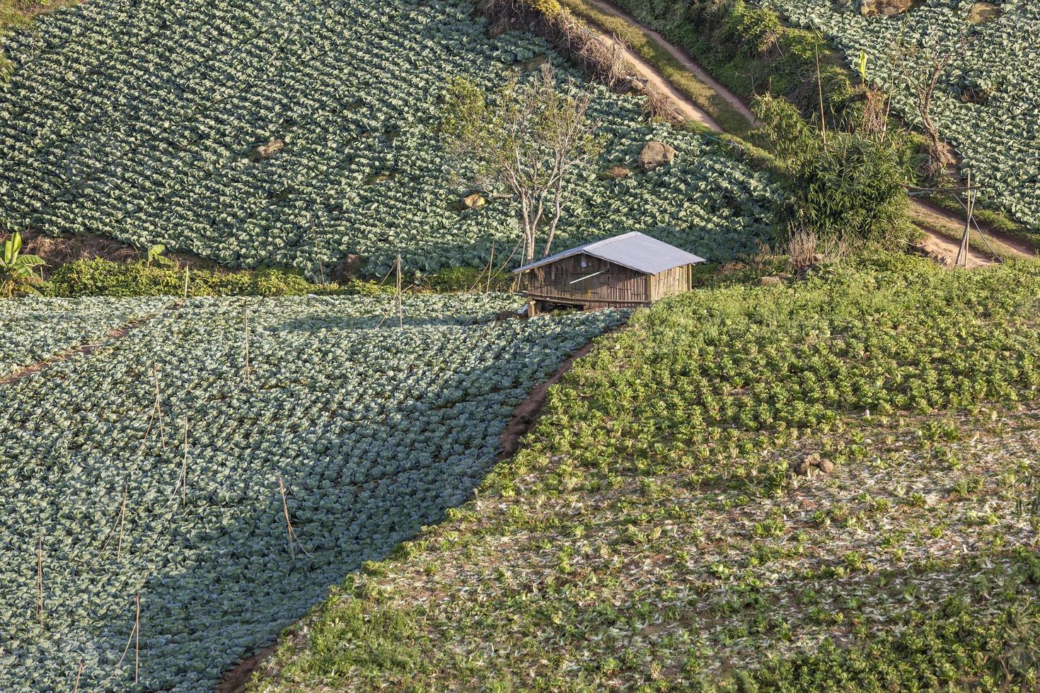 campo de plantação de repolhos na montanha foto