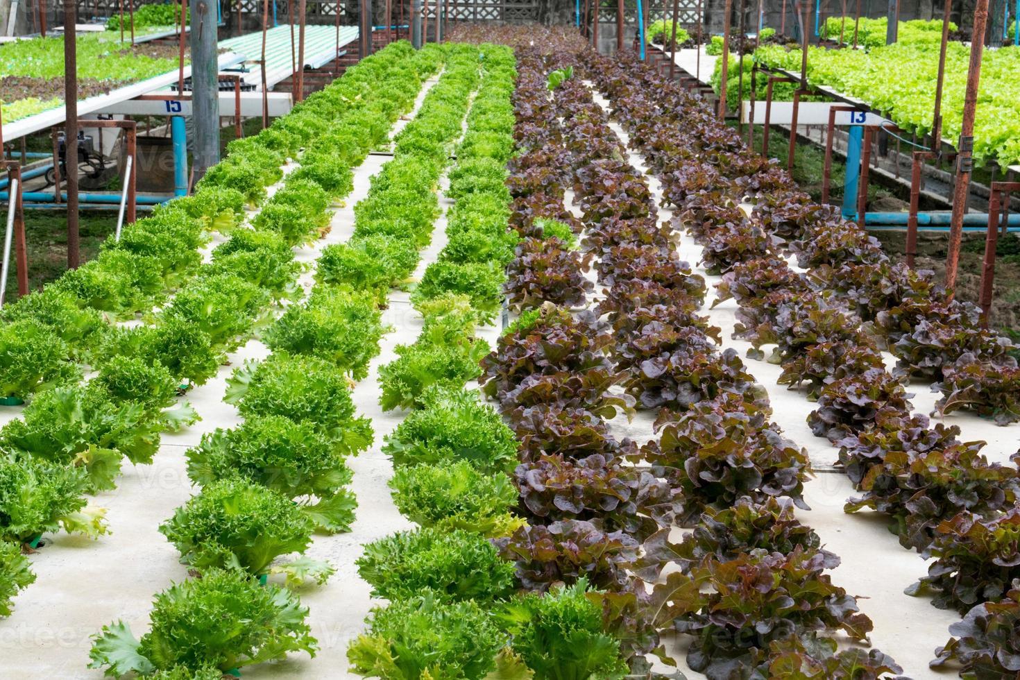 vegetais hidropônicos crescendo em estufa foto