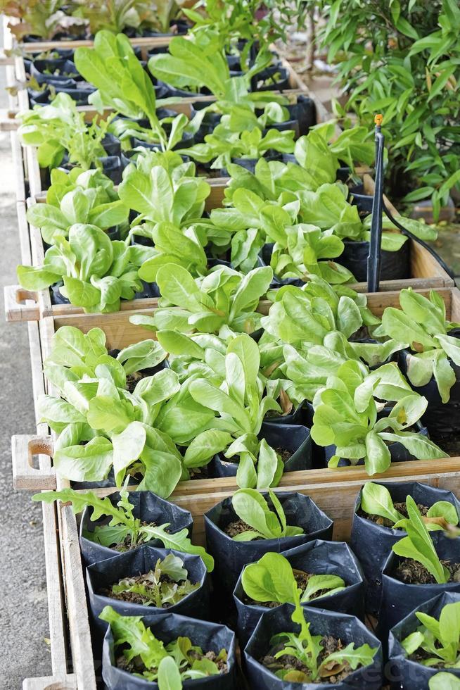 horta orgânica e fresca foto