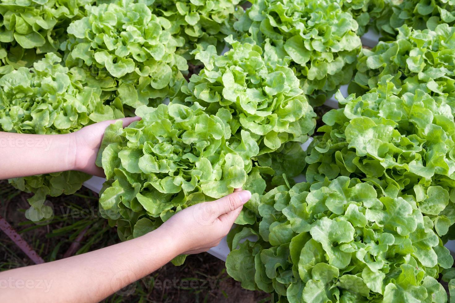 vegetal hidropônico orgânico na mão em um jardim foto