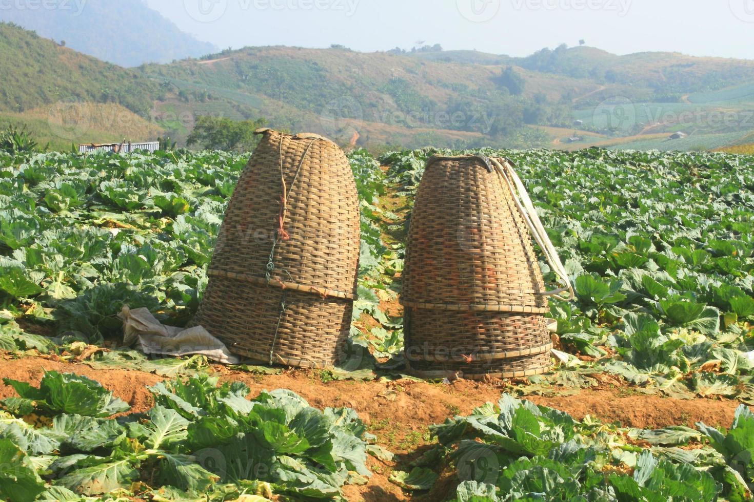 cestas em campos de repolho foto