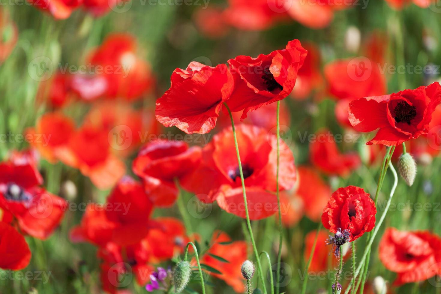 papoilas de milho vermelho foto
