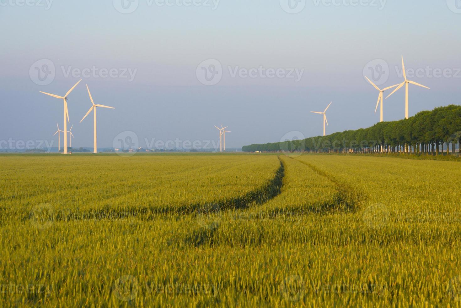 milho crescendo em um campo na primavera foto