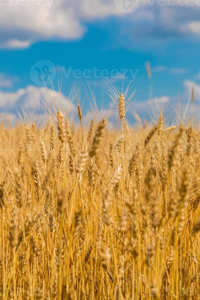 campo de trigo, colheita fresca de trigo foto